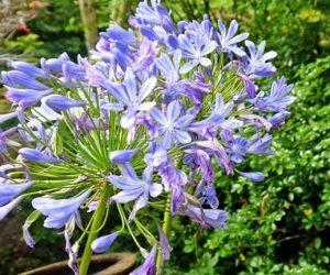 agapanthe fleurs du jardin des Villas